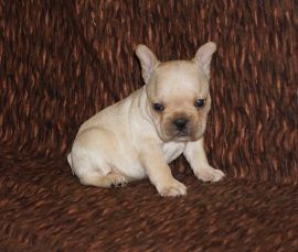 Cream Color French Bulldog 24