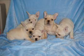 Cream color french bulldog male 29