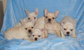 Cream color french bulldog male 30