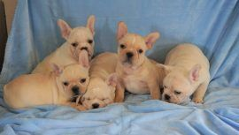 Cream color french bulldog male 32