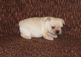 Cream Color French Bulldog 16