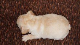 Cream Color French Bulldog 15
