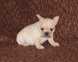 Cream Color French Bulldog 10
