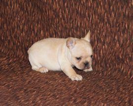 Cream Color French Bulldog 8