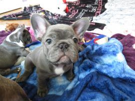 French bulldog puppies Los Angeles CA For Sale | French