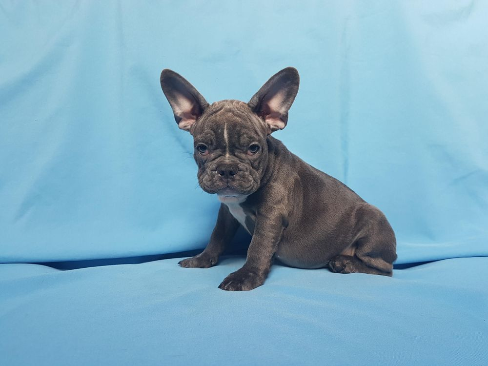 french bulldog california french bulldog puppies los angeles ca for sale french 8153