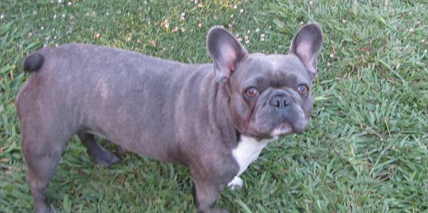 Los Angeles Ca Buy French Bulldog French Bulldog Breeders French
